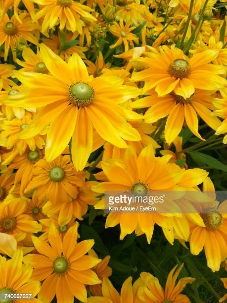 Full Frame Shot Of Yellow Flowers Blooming Outdoors