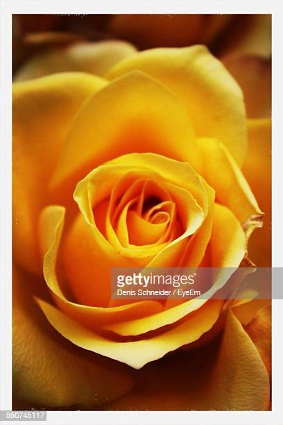 Full Frame Shot Of Yellow Rose