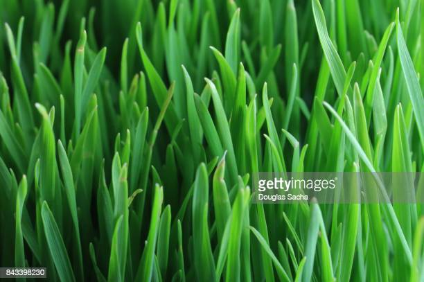 Full frame view of a Wheatgrass Plant (triticum aestivum)