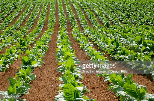 Full frame view of oblique rows of tobacco plants in early summer : Stock Photo