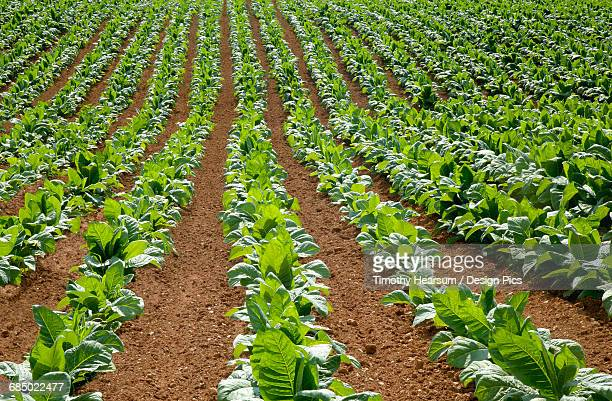 Full frame view of oblique rows of tobacco plants in early summer
