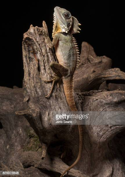 A full length image of a Boyd's forest dragon as it sits on the branch of a tree The Boyd's forest dragon is found in rainforests and their margins...
