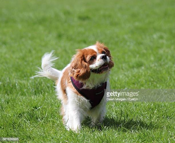 Full Length Of Cavalier King Charles Spaniel Walking On Grassy Field