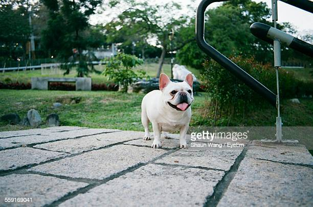 Full Length Of French Bulldog In Backyard