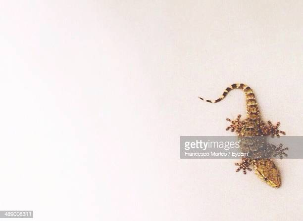 Full length of gecko on white background