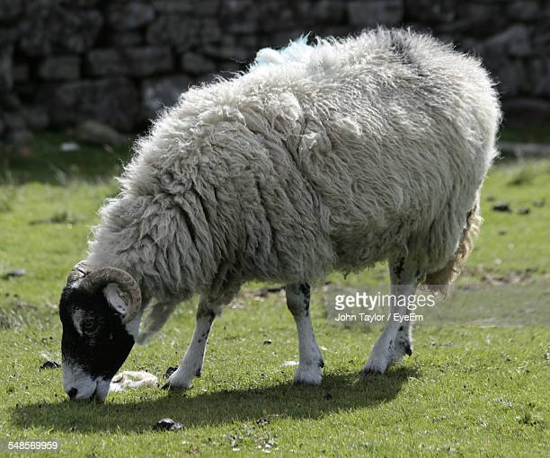 Full Length Of Swaledale Sheep Grazing On Field