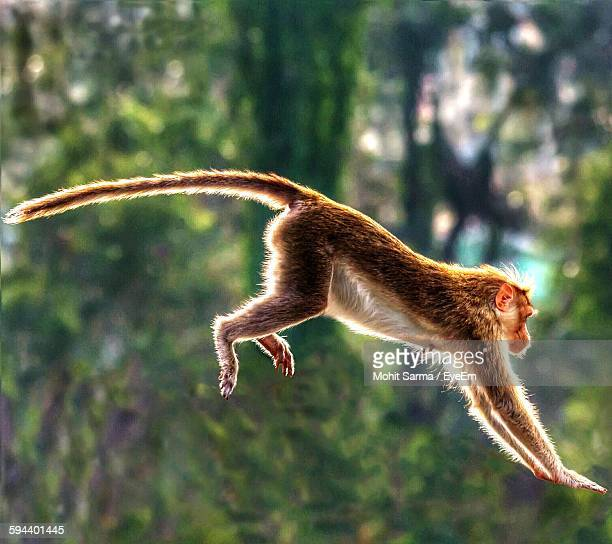 Full Length Side View Monkey In Mid-Air