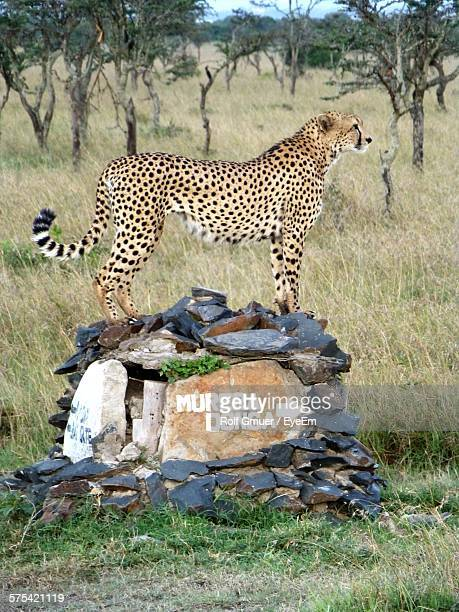 Full Length Side View Of Cheetah Standing On Rock
