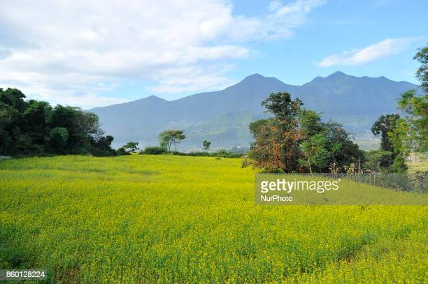 A Full of Golden mustard field seen from Chobhar Height Kirtipur Kathmandu Nepal on Wednesday October 11 2017