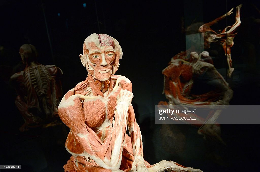 A full plastinated body of a male person is on display at the 'Menschen Museum' (Human Being Museum) by plastinator <a gi-track='captionPersonalityLinkClicked' href=/galleries/search?phrase=Gunther+von+Hagens&family=editorial&specificpeople=226597 ng-click='$event.stopPropagation()'>Gunther von Hagens</a> on the eve of its opening in Berlin, on February 17, 2015. German anatomist <a gi-track='captionPersonalityLinkClicked' href=/galleries/search?phrase=Gunther+von+Hagens&family=editorial&specificpeople=226597 ng-click='$event.stopPropagation()'>Gunther von Hagens</a>, dubbed 'Doctor Death' for preserving and displaying dead bodies as artworks, opens a museum dedicated to the technique called plastination, after 20 years of touring the world with this controversial exhibition of human complete corpses and organs.