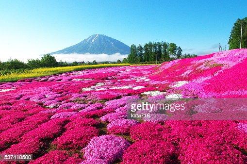 Full-blown moss pink : Stock Photo