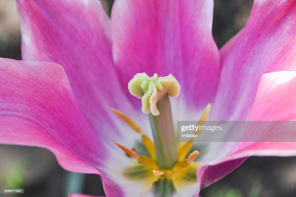 full-blown tulip : Stock Photo