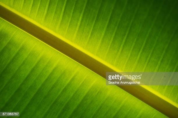 Full-frame shot of banana leaf