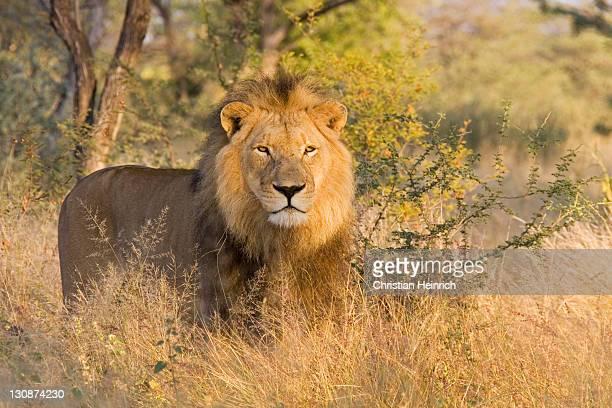 Full-grown lion (Panthera leo), male, Namibia, Africa