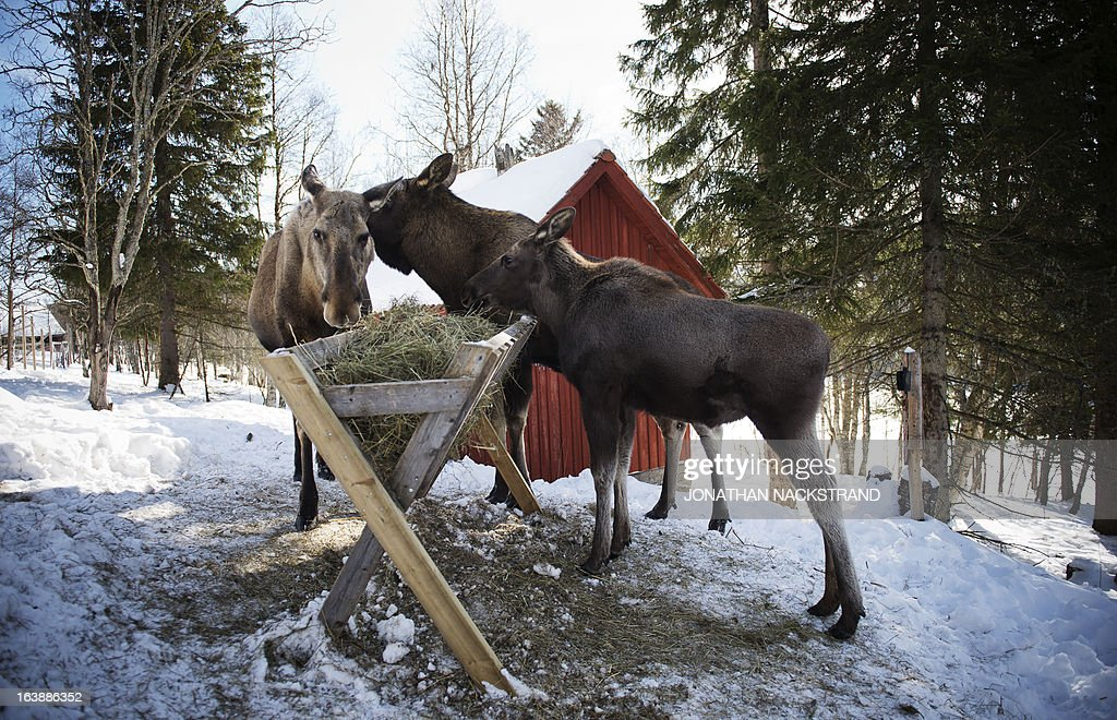 Full-grown moose and their calf eat at a moose farm in Duved, Sweden on March 17, 2013.