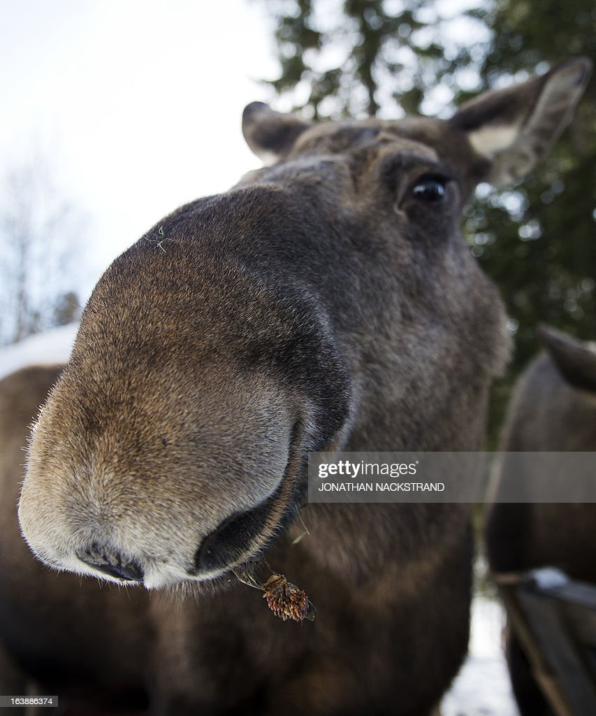A full-grown moose cow eats at a moose farm in Duved, Sweden on March 17, 2013.