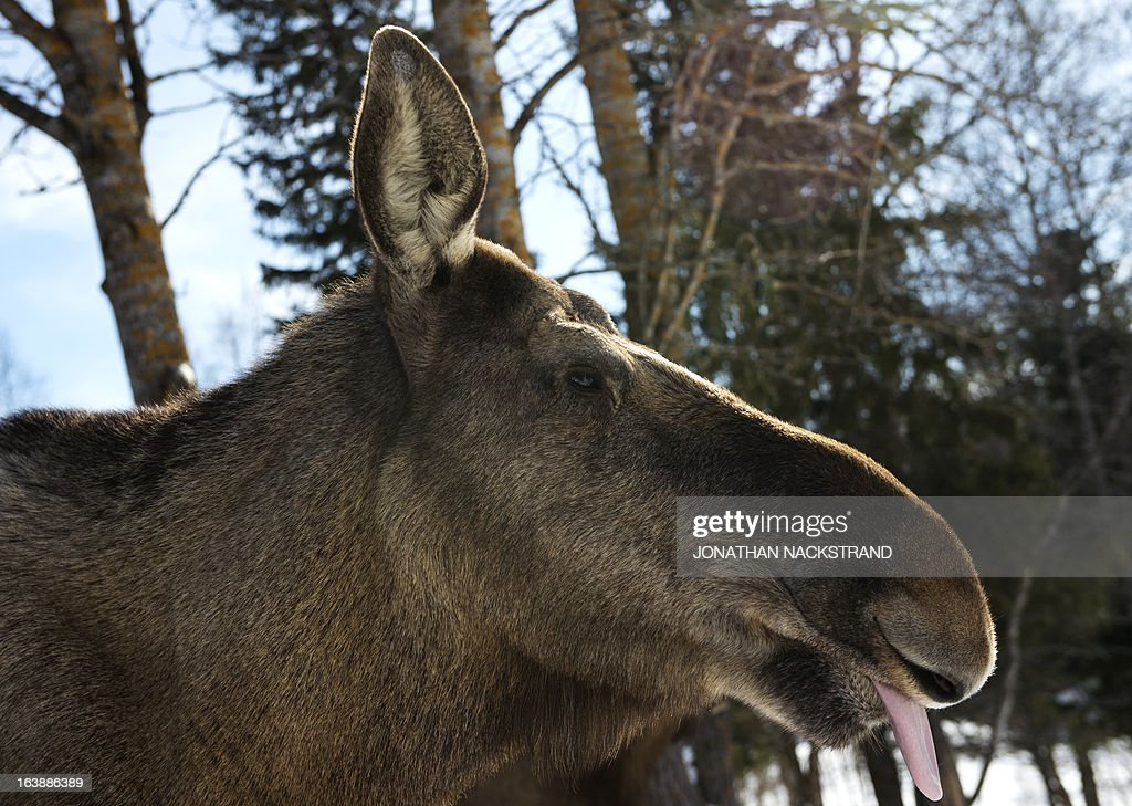 A full-grown moose cow is pictured at a moose farm in Duved, Sweden on March 17, 2013. AFP PHOTO / JONATHAN NACKSTRAND
