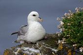 Fulmar, Fulmarus glacialis, single bird on cliff, Orkney, June 2014