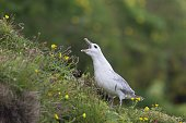 Fulmar, Fulmarus glacialis, sat on grassy slope on a cliff edge. Icelandic wild white angry bird with open beak. Natural environment with yellow flowers.