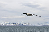 Fulmar against arctic backdrop.