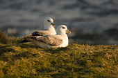Image of fulmars taken at sunset in April in the Shetland Islands. They breed here from May to September