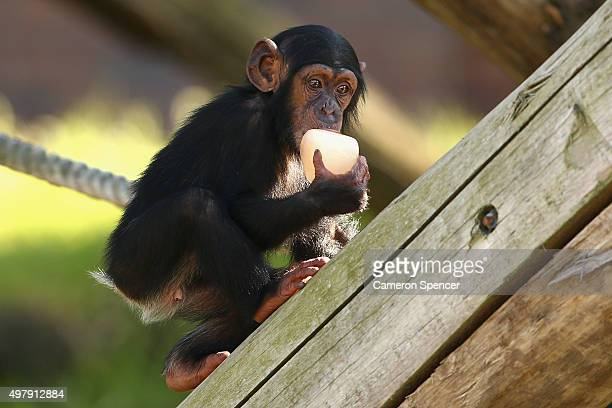 Fumo a baby chimpanzee enjoys an icy treat at Taronga Zoo with other chimpanzees on November 20 2015 in Sydney Australia With high temperatures...