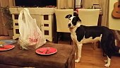 Fun animal in daily life - a dog is wondering if she can will get invite for human's dinner! Facial expression - curiousity and funny