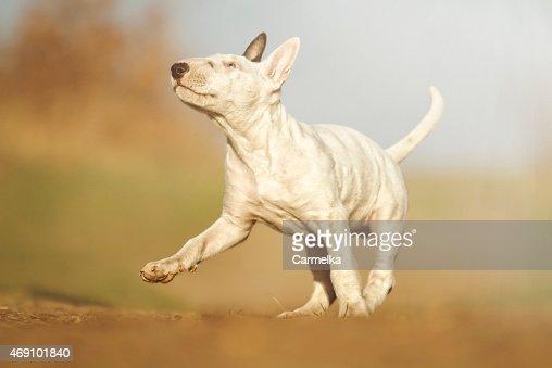 Fun Cute Beautiful English Bull Terrier Puppy Dog Running Stock