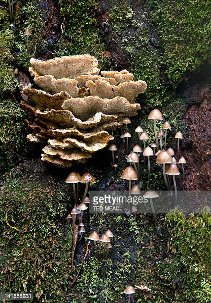 Fungi growing on a tree buttress in Mt Field National Park, Tasmania, Australia.