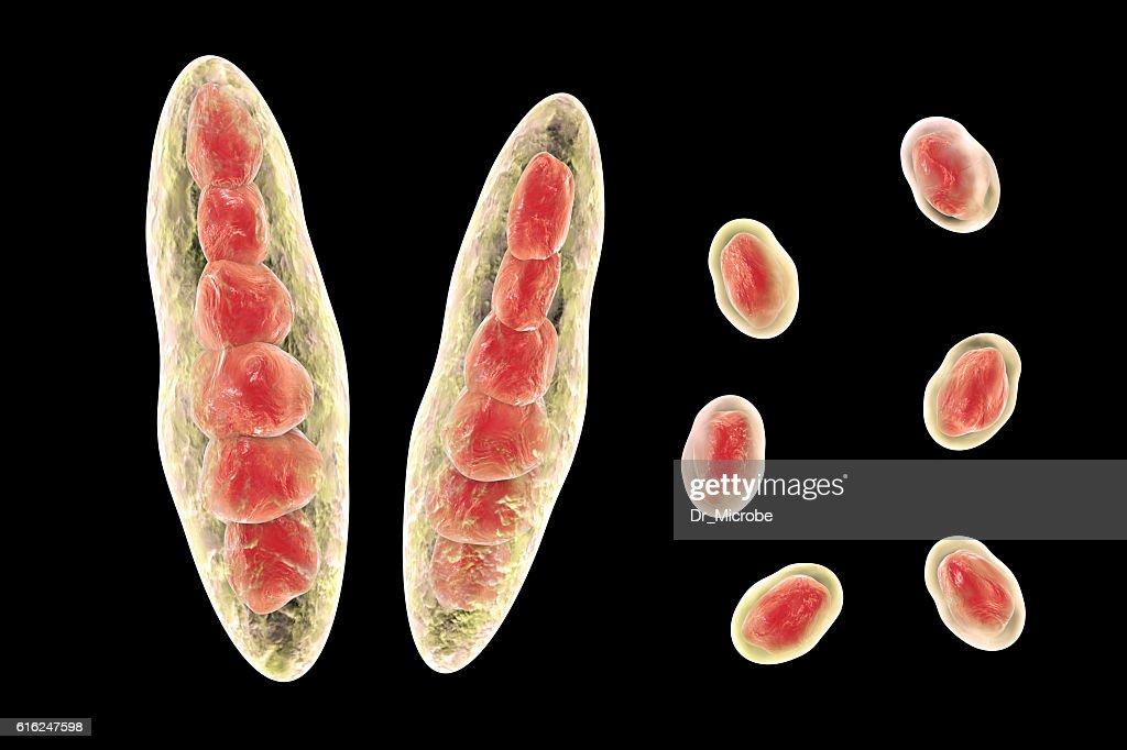 Fungi Trichophyton illustration : Stock Photo