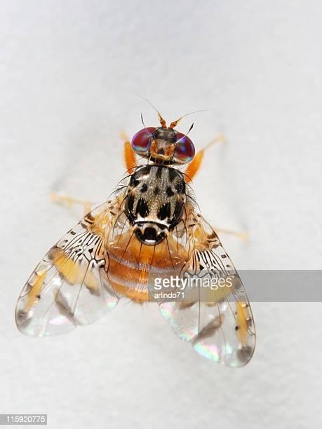 Funky fruit fly 02