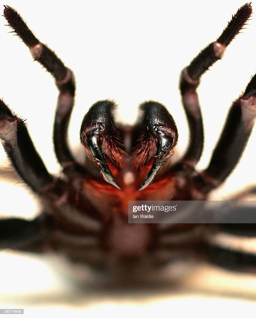 Funnel Web spider is pictured at the Australian Reptile Park January 23 2006 in Sydney Australia The Funnel Web is one of Australia's deadliest...