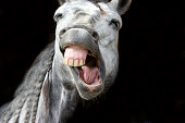 Funny animals is a  happy white horse with a hilarious expression laughing out loud.