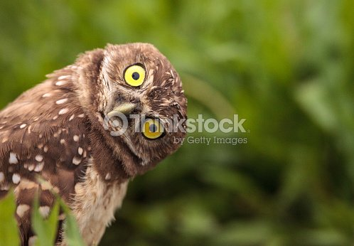 Funny Burrowing owl Athene cunicularia : Stock Photo