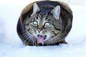 Funny cat photo. A cat stretches out the tongue