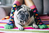 funny concept of friendship forever with happy young girl with crazy colored socks and creamy pug dog in the middle of her legs laying and looking curiously at the camera. protect and friends concept