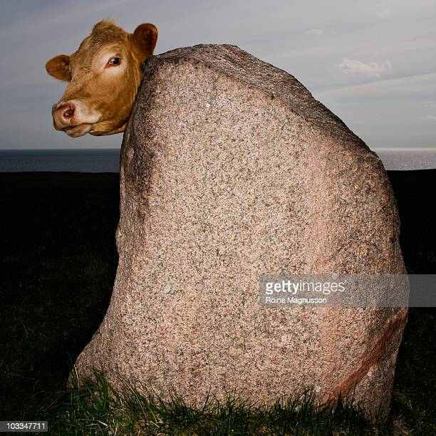 funny cow behind big stone