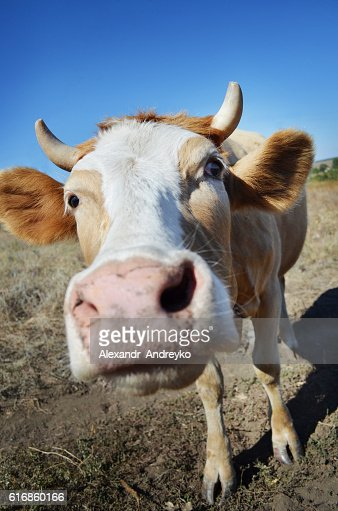 funny  cow close up : Stock Photo