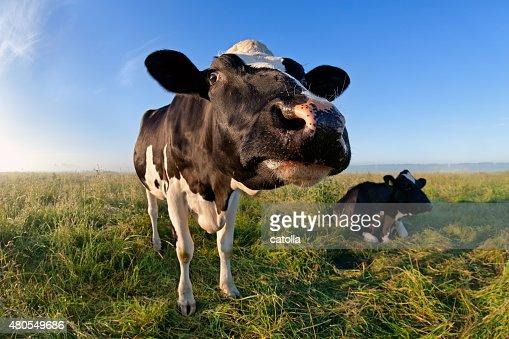 funny cow muzzle via wide angle : Stock Photo