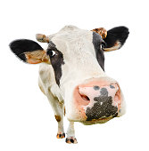 Funny cute cow isolated on white. Talking black and white cow close up. Funny curious cow. Farm animals. Pet cow on white. Cow close looking at the camera
