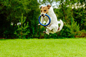 Jack Russell Terrier playing with blue ring puller