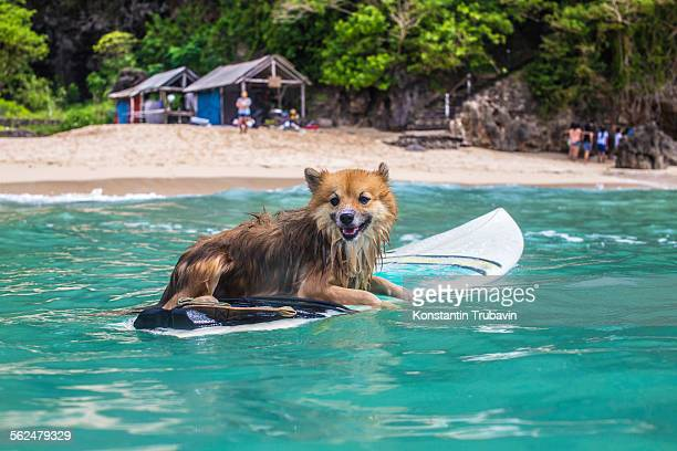 Funny dog on surfboard in the ocean water.