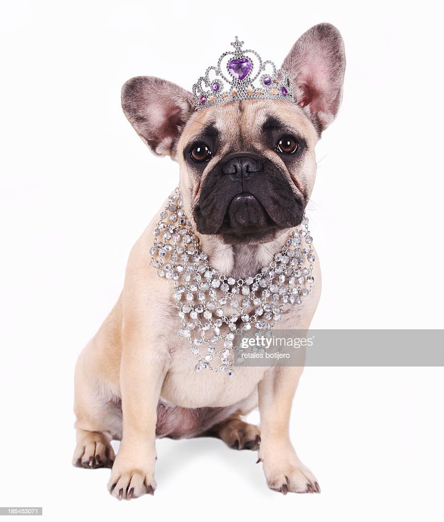Funny dog wearing crown and necklace : Stock Photo