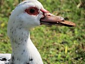Funny duck with cookie.