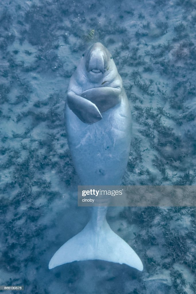 Funny dugong floating on his back, smiling at the camera and stretching out his tongue in Red Sea - Marsa Alam - Egypt : Stock Photo