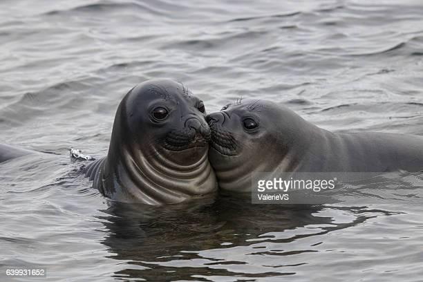 Funny elephant seals