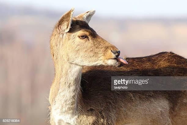 funny fallow deer hind ( Dama dama ) putting out her tongue