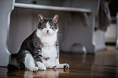 Funny Fat Cat Sitting in the Kitchen and Probably Waiting for some more Food