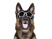 Funny German shepherd wearing glamorous leopard print sunglasses (isolated on white)