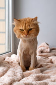 Funny ginger long-haired cat groomed with haircut is sitting on a soft pink blanket.